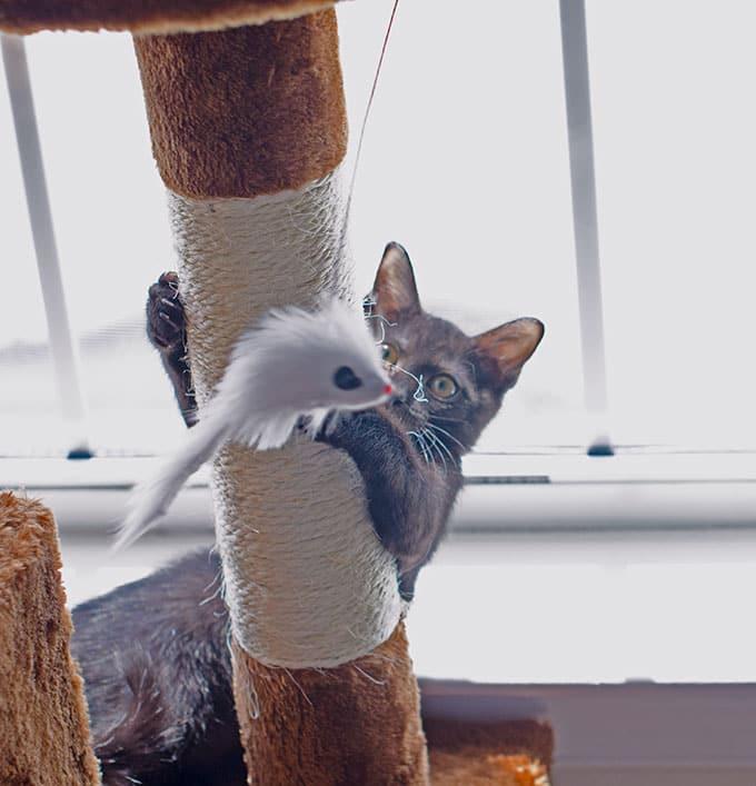 Black Kitten Playing On Cat Tree